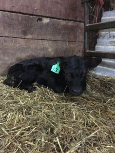 First calf from my heifers!