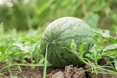 Ako pestovať dyne a melóny? Watermelon, Gardening, Fruit, Tips, Compost, Lawn And Garden, Horticulture, Counseling