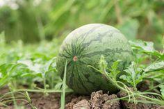 Ako pestovať dyne a melóny? Watermelon, Gardening, Fruit, Tips, Composters, Garten, The Fruit, Lawn And Garden, Horticulture