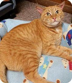 Philadelphia, PA - Domestic Shorthair. Meet Elli *Deaf/CH*, a cat for adoption. http://www.adoptapet.com/pet/9456684-philadelphia-pennsylvania-cat