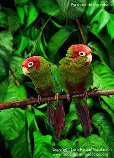 Rose-crowned Conure - Pyrrhura Rhodocephala, from: Venezuela Parrot Pet, Parrot Bird, Kinds Of Birds, All Birds, Pretty Birds, Beautiful Birds, Beautiful Pictures, Bird Breeds, Rose Crown