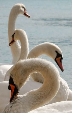 Elegant Swans - title Swans over 'The Rhone' (France) - by Valentin Guidal
