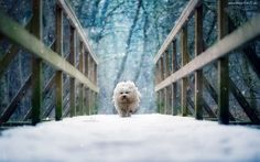 Zima, Most, Pies, Hawańczyk