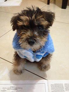 Schnauzer Grace puppy Schnauzers, Cute Animals, Puppies, Dogs, Pets, Pretty Animals, Puppys, Schnauzer, Doggies