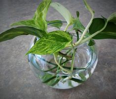 Try your hand at growing your very own pothos vine from cuttings! With these tips and step-by-step guide, propagating pothos has never been easier! Pothos In Water, Neon Pothos, Water Plants, Inside Plants, Ivy Plants, Cool Plants, Indoor Plants, Hanging Plants, Pothos Plant Care