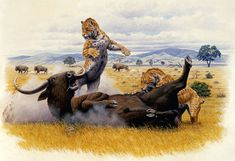 Saber-toothed Cats (Smilodon californicus) take down prehistoric long horned bison.