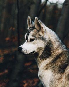 Beautiful Siberian Husky | Siberian Husky Names and ...