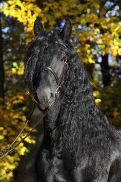 Friesian horse - Black Beauty - by Renata Kolarova
