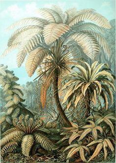 Planche botanique de fougères Filicinae de l'île de Java en 1904