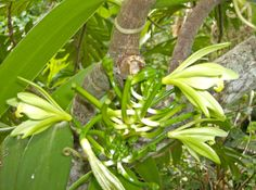 Growing Vanilla, an orchid of economic value in tropical and subtropical areas. There is a handy pdf as well with a detailed picture on how to pollinate a vanilla flower for bean production. Cool Plants, Air Plants, Garden Plants, Vanilla Plant, Vanilla Orchid, Orchid Plants, Orchids, Bean Plant, Plant Pictures