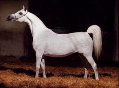 Elandra (Monogramm x Erlandra) An exquisite pure polish Arabian mare.