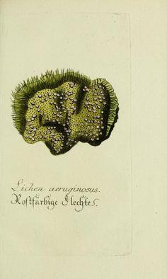 Jarhg.6 (1792) - Plantarum indigenarum et exoticarum icones ad vivum coloratae, oder, Sammlung nach der Natur gemalter Abbildungen inn- und ausländlischer Pflanzen, für Liebhaber und Beflissene der Botanik / - Biodiversity Heritage Library