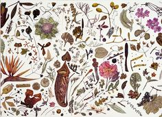 Rachel Pedder-Smith | Herbarium Specimen Painting | 56cm x 77cm |