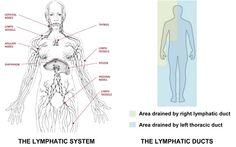 The Lymphatic System (All about the Lymph, symptoms of a clogged, congested lymph, how to move the lymph)