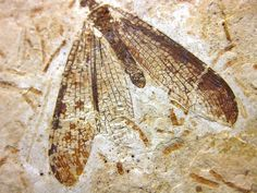 Brazil Crato Formation Insect #5 – Indiana9 Fossils Ancient Egyptian Art, Ancient Aliens, Ancient Greece, European History, American History, Tutankhamun, Petrified Wood, Anglo Saxon, Ancient Artifacts
