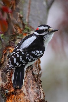 The Downy Woodpecker is the smallest species of woodpecker in North America, growing up to 6 inches long. They can be found mainly in deciduous forests across most of Canada and the United States.