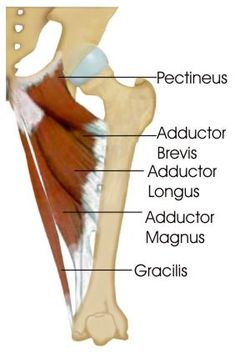 antagonistic relationship between adduction and abduction of the thigh