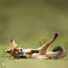 """O-M-G"" Tribute to Stupidfox 🐺😂😊 #nature_brilliance #redfox #fox #funnyfox #stupidfox #fun #captionthis #stupidfox #InstaNatureFriends #ig_naturelovers #WildGeography #super_holland #igcutest_animals #wildlifefriend #Destination_wild @WildGeography #wildlifeonearth @nature.geography #fantastic_earth @wonderful_earthpix #super_holland @WildlifeOwners @nature.geography #fantastic_earth #wonderful_earthpix #TheGlobeWanderer @WildlifePlanet #bestwildlifephotography  #exclusive_animals…"