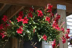 mandevilla vine red | Recent Photos The Commons Getty Collection Galleries World Map App ...