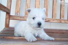 Meet Woodie a cute West Highland White Terrier - Westie puppy for sale for $575. Woodie
