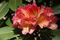 Thank you for taking a look at one of our several hundred Hybrid Rhododendrons we have for sale on Etsy and our website! At RhododendronsDirect.com, all we do is Rhododendrons!    Product Description    Bloom Color:  Deep pink at outer edge shading to light orange in the center with darker spots.    Bloom Season:       Early Mid Season    Plant Height(potential in 10 years): 3 feet    Hardy to: -5 F      Container Size/Age:  Five Gallon Plant -  These rhododendrons are typically rooting into…