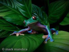 Blue-sided Leaf Frog, Agalychnis annae; Photo Credit: Mark Mandica