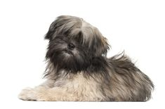 Calm and subdued, the Lhasa Apso is a wonderful house pet as it doesn't require a lot of exercise. This breed is curious about everything around them.