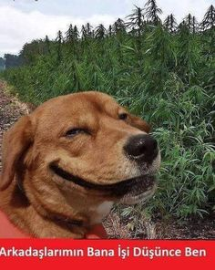 "Originally posted for link to cute article ""Scientific Proof Dog Lovers Make Great Friends,"" but what I want to know is - is that a field of marijuana, and if so, is that why he's smiling? Animals And Pets, Baby Animals, Funny Animals, Cute Animals, Funny Dogs, Cute Dogs, Animal Pictures, Funny Pictures, Random Pictures"