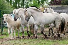 Aard 2004 Norwegian Fjord (Timor x Reykjagaard, Briggen) All The Pretty Horses, Beautiful Horses, Animals Beautiful, Pony Breeds, Horse Breeds, Fjord Horse, Majestic Horse, All About Horses, Draft Horses