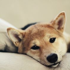 Shiba inu- my pup Shiba Inu, Love My Dog, Cute Puppies, Cute Dogs, Dogs And Puppies, Beautiful Dogs, Animals Beautiful, Jiff Pom, Animals And Pets