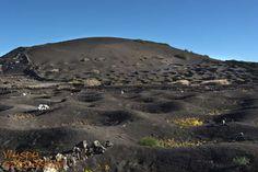 Tradycyjne winobranie z udziałem wielbłądów w regionie La Geria już 15 sierpnia! Tylko raz w roku i tylko na Lanzarote.  Zdjęcie zrobione przez Wojtka.