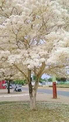 Forest Plants, Nature Plants, Nature Tree, Tree Forest, Trees And Shrubs, Flowering Trees, Trees To Plant, Unique Trees, Colorful Trees