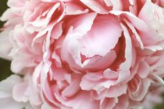 Peony Big Bloom Photography, Fine Art Photography, Nature, Garden, Landscape, Macro, floral wall decor, Abstract, 16x20 $45