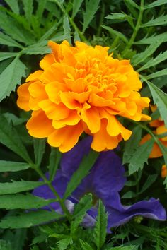 "So just found out there's such a thing as you ""birth flower""... and I guess October is marigolds"