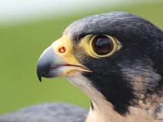 Another shot of a peregrine falcon for the phoenix head concept. Such a majestic…