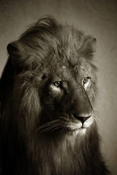Black and white picture of lion with an expression.  How would you describe this lions expression?      Referenced by WHW1.com: WebSite Hosting - Affordable, Reliable, Fast, Easy, Advanced, and Complete.©