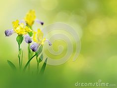 Yellow iris flowers on the spring blurred garden background