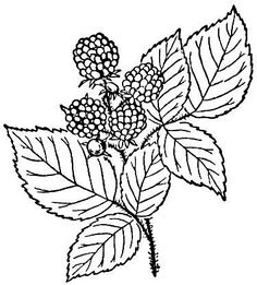 Blackberry or raspberry coloring page to use an embroidery pattern.