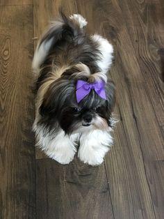 Shih Tzu puppy #ShihTzu