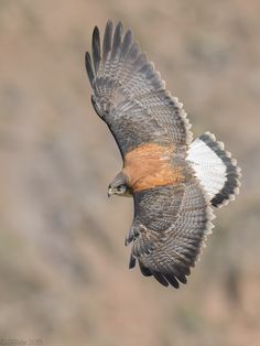The Variable Hawk (Geranoaetus polyosoma) is a polymorphic species of bird of prey in the Accipitridae family. It is widespread and often common in open habitats in western and southern South America, including the Falkland Islands.