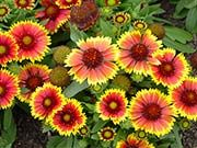 Gallardia for attracting beneficial insects and pollinators to your garden.
