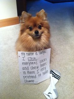 Dog Shaming features the most hilarious, most shameful, and never-before-seen doggie misdeeds. Join us by sharing in the shaming and laughing as Dog Shaming reminds us that unconditional love goes both ways. Pomeranian Haircut, Cute Pomeranian, Pomeranian Memes, Funny Dogs, Funny Animals, Cute Animals, I Love Dogs, Puppy Love, Cute Puppies