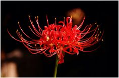 """Hurricane (or Spider) Lily - I never knew when these would come up! They were a surprise seeming to just """"pop"""" out of the dirt in full bloom! Actually, I now know, they grow flower first, then the leaves are added. They bloom in the Fall usually after the first rain ( hence, the name """"Hurricane Lily."""""""
