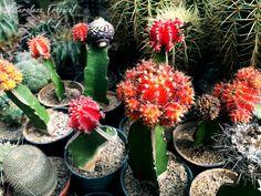 Varios injertos de cactus