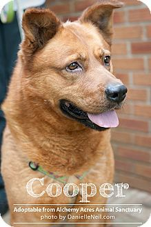 Salem, OH - American Pit Bull Terrier/German Shepherd Dog Mix. Meet Cooper III, a dog for adoption. http://www.adoptapet.com/pet/6110226-salem-ohio-american-pit-bull-terrier-mix