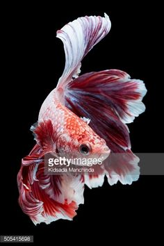 Stock Photo : Betta fish