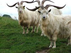 sheep wool | there are lots of types of sheep wool from different kinds of sheep ...