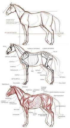 Animal Art and Demos: DEMOS basic animal drawings Horse Anatomy, Animal Anatomy, Anatomy Art, Anatomy Drawing, Pencil Drawings Of Animals, Horse Drawings, Animal Sketches, Art Drawings, Draw Animals