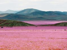 The spring's atypically heavy rains created an incredible spectacle in Chile's Atacama Desert, the driest desert in the world.