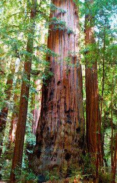 Redwood Tree Photograph by Shelle Ettelson - Redwood Tree Fine Art Prints and Posters for Sale